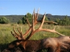 bull-elk-arizona